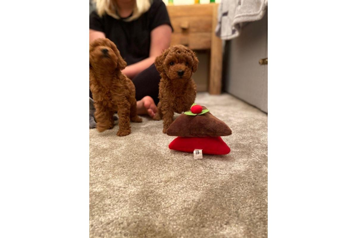 Stunning Toy Poodle Puppies for Sale - 1/2