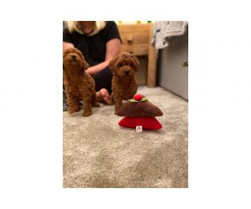 Stunning Toy Poodle Puppies for Sale