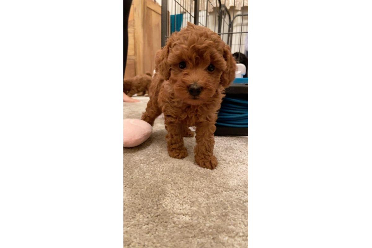 Stunning Toy Poodle Puppies for Sale - 2/2